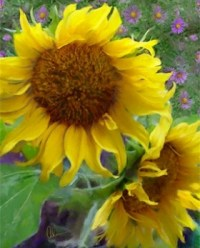 Sunflowers with Purple Asters-Metal Print by the artist Mary Ahern