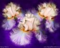 Dancing Iris Trio