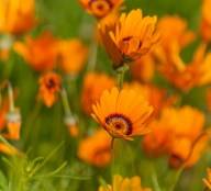 Orange Daisies 1