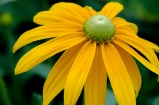 Sun Flower 8