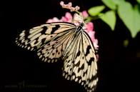 Black and Pale Yellow Butterfly