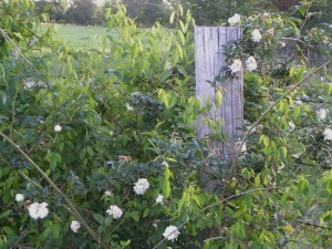 trail-of-tears-roses