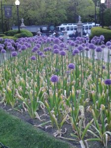 purple flowers in boston