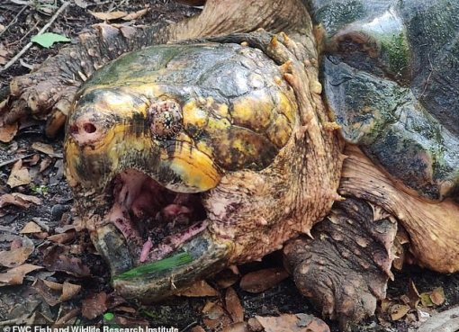 'Dinosaur Of Turtle World': Monster-Sized Snapping Turtle Found In Florida (Pix)
