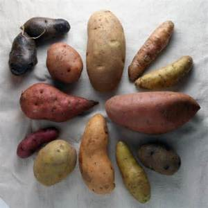 sweet-potato-variety