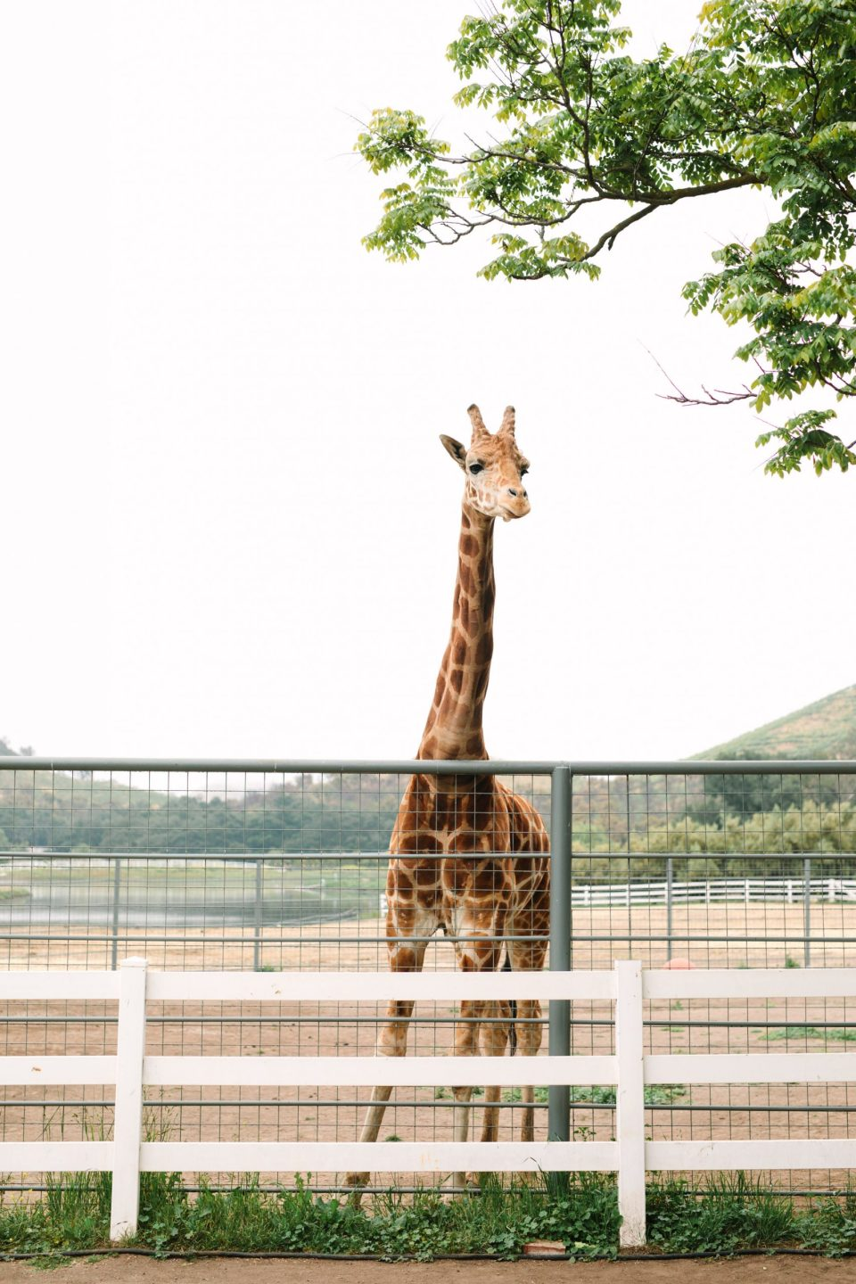 Stanley the giraffe by Mary Costa Photography