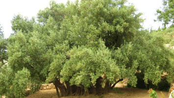 Mary Esther Ruth, Olive Tree, Al-Bawadi Tree