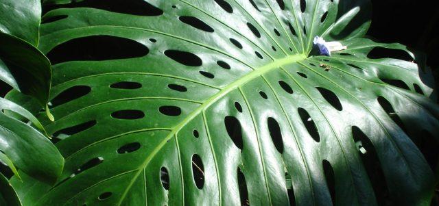Large green leaf, Mary Warner, 2014.