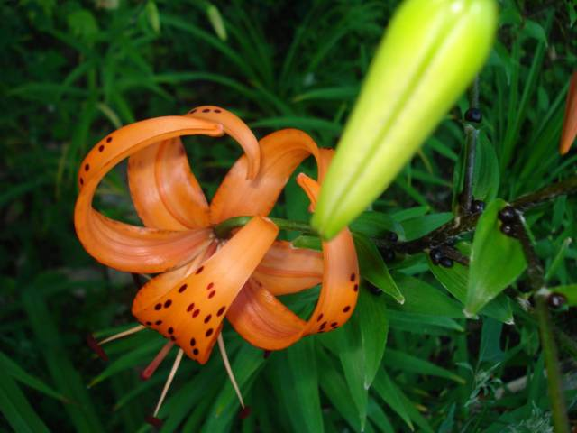 Tiger lily bloom from the top and tiger lily yet to bloom, Mary Warner, July 24, 2015.