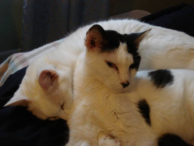 Inky, the Ambassador Cat, curled up with Stinky, December 2015.