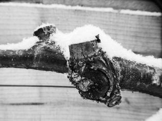Branch and Snow