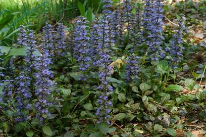 ajuga reptans jungle beauty