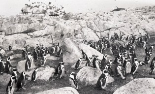 Penguin colonies nesting in South Africa