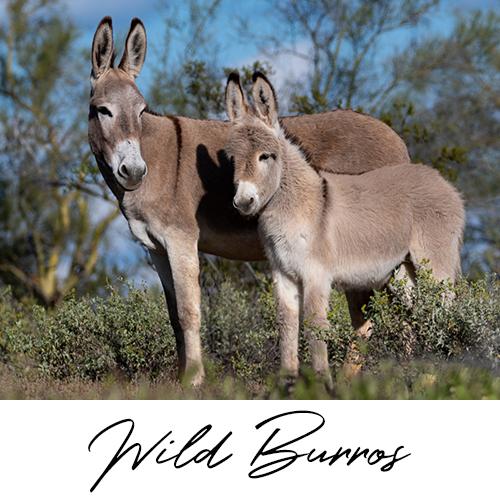 wild burros photography