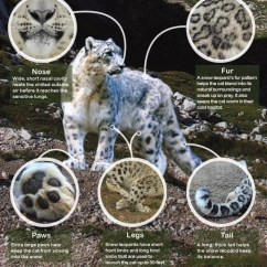 Panda Life Cycle Diagram Autotransformer Wiring Save The Snow Leopards! – Endangered Earth Mary Horsburgh