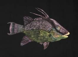 fanciful-hogfish-6k-pix-jpeg_orig