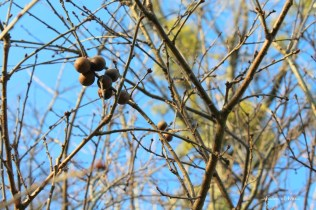 oak galls in tree