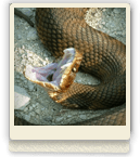 Cottonmouth - olive, black, brown skin with fangs he's eager to show off!
