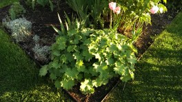 lady's mantle at Stevens Coolidge house