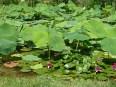 rote Seerosen und