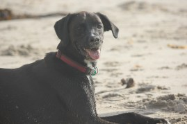 Sandy, happy dog