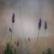 Lavender #1 - 2014