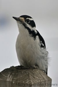 Downy Woodpecker 2/23/13