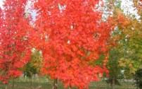 Acer Saccharum, 'Autumn Fest' Sugar Maple