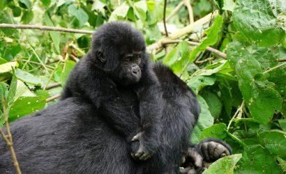 gorilla tracking and Akagera safari