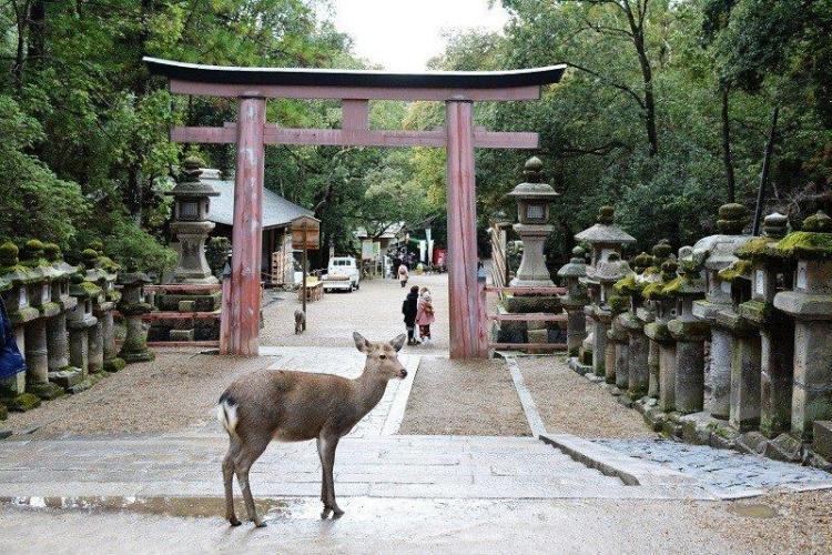 Олени в храмах города Нара.