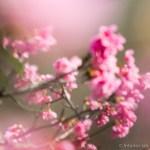 sakura 桜 沖縄 okinawa