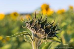 sunflower ひまわり 向日葵 沖縄 北中城村