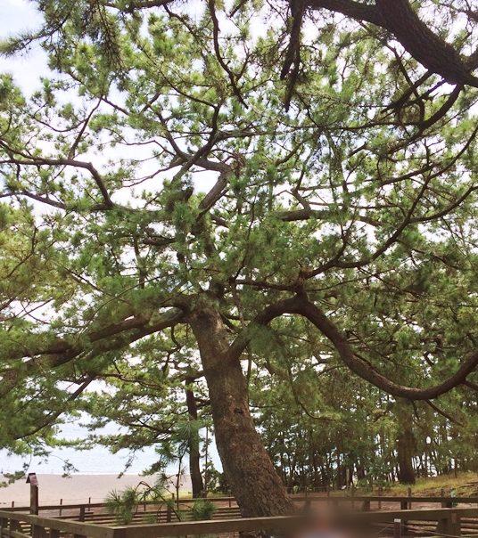 三保の松原の羽衣の松
