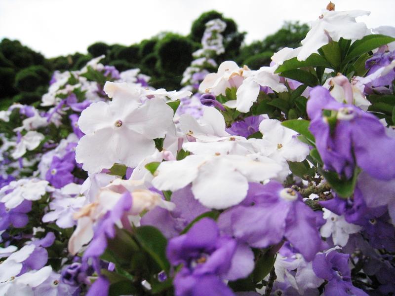 白と紫のアメリカンジャスミンの花