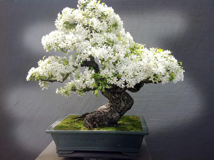 Bonsai Paling Cantik dan Terindah