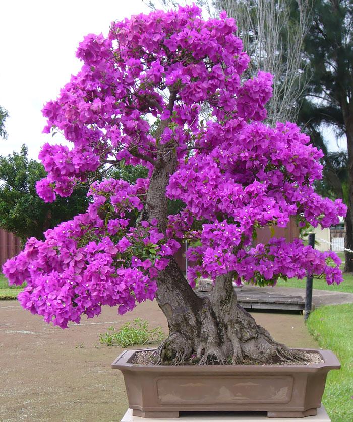 Bougainvillea ungu