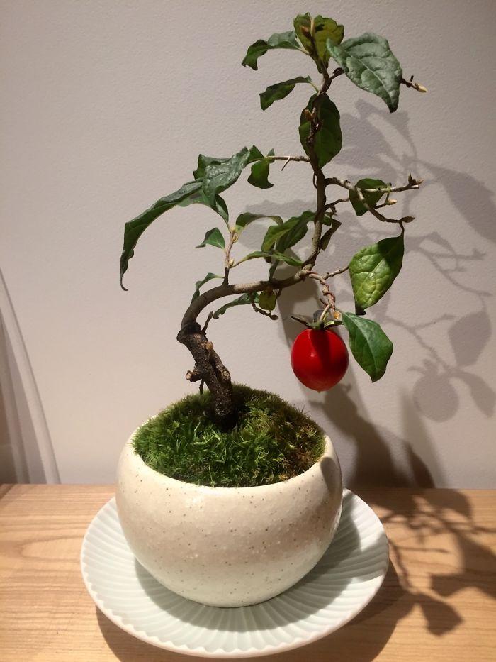 tanaman apel unik Jepang