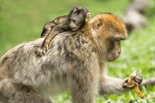 Contoh hewan omnivora monyet
