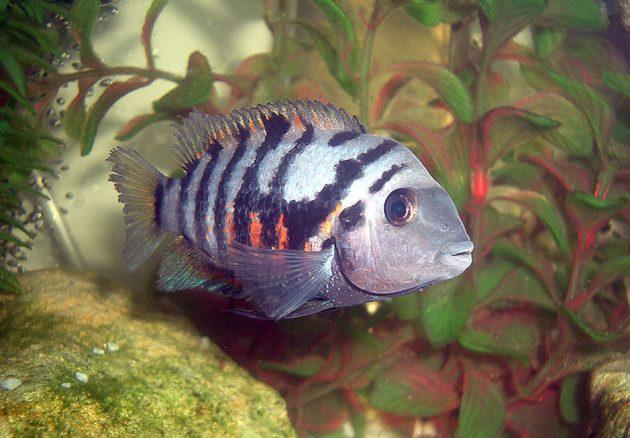 ikan hias air tawar convict-cichlid