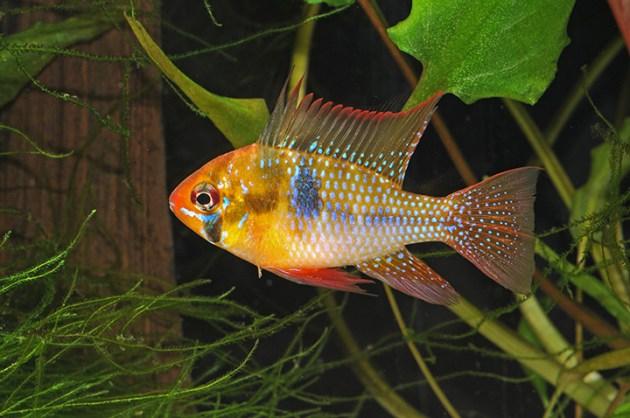 ikan-hias air tawar-german-blue-ram bintik kunig hijau