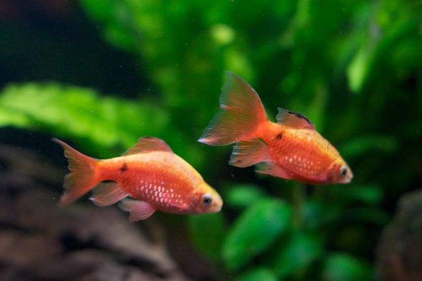 ikan hias air tawar lucu rosy_barbs