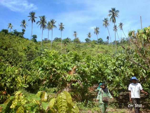 tumpag sela tanaman kelapa dengan kakao
