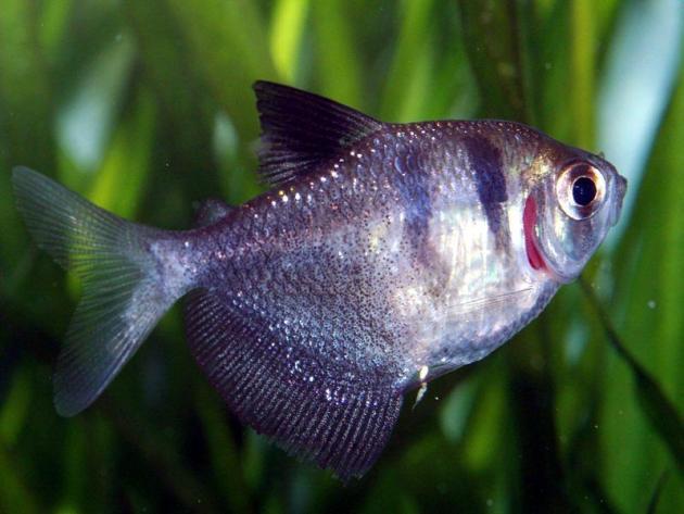ikan hias air tawar black-skirt-tetra