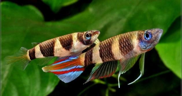 Jenis Ikan Hias Air Tawar Aquarium Ikan clown kill fish Indah