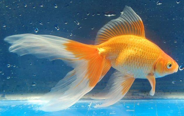 Jenis Ikan Hias Air Tawar Aquarium cantik komet warna orange
