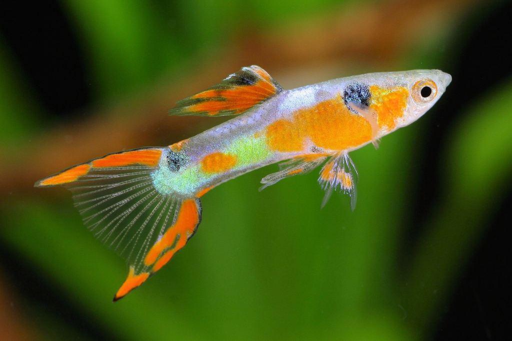 Jenis ikan-hias air tawar langka -endlers-livebearer