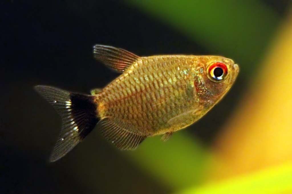 ikan hias -red-eye-tetra mata merah