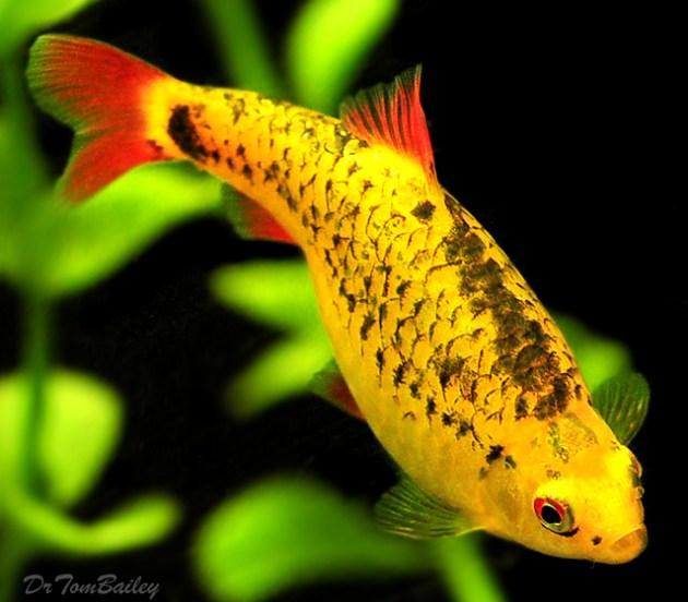 ikan hias air tawar warna emas neon gold