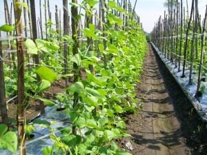 Penjelasan Tanaman Tumpangsari (Polyculture) Lengkap dengan Kelebihannya