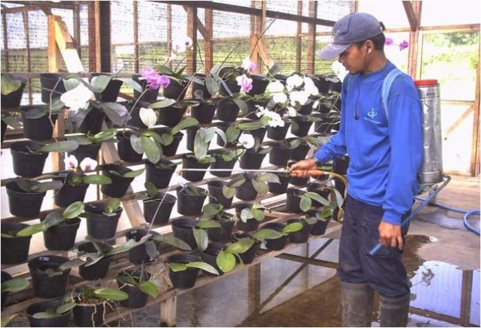 pemberian air pada bunga anggrek